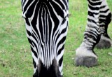 zebra_close_up